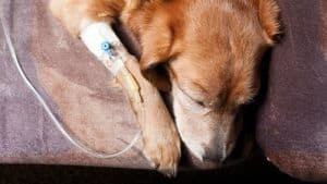 Diabetic Ketoacidosis in Dogs: Symptoms and Causes