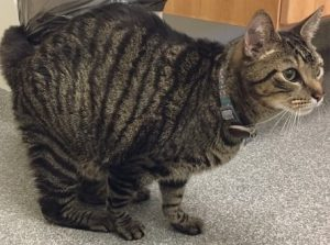 Feline Diabetic Neuropathy: Signs, Symptoms, Causes and Treatment