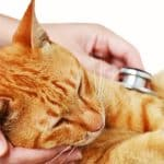 Hyperglycemia (High Blood Sugar) in Cats: Signs, Symptoms and Causes