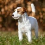 Hyperglycemia in Dogs - Signs, Symptoms and Causes
