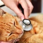 Hypoglycemia (Low Blood Sugar) In Cats - Signs, Symptoms and Treatment
