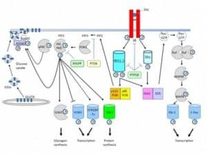 Insulin Signaling and Transduction Pathways