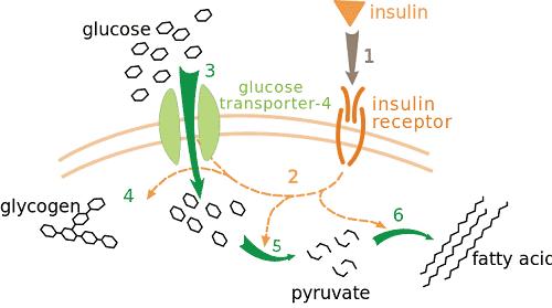 Insulin Vs. Glucagon