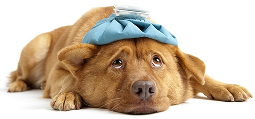 Low Blood Sugar in Dogs