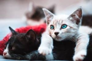 Pancreatitis in Cats with Diabetes