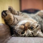 Seizures in Cats With Diabetes
