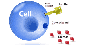 The Relationship Between Insulin and Glucose