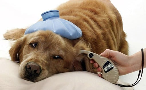 Diabetes In Dogs - Signs, Symptoms, Causes, Types and Treatment