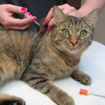 Different Types of Insulin For Cats with Diabetes